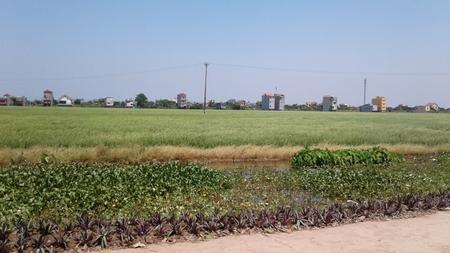 Cánh đồng lúa bao la kề ngay khu đất được dự định sử dụng làm quảng trường